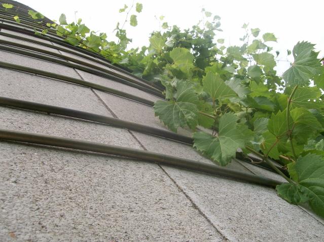 Vines_on_silo